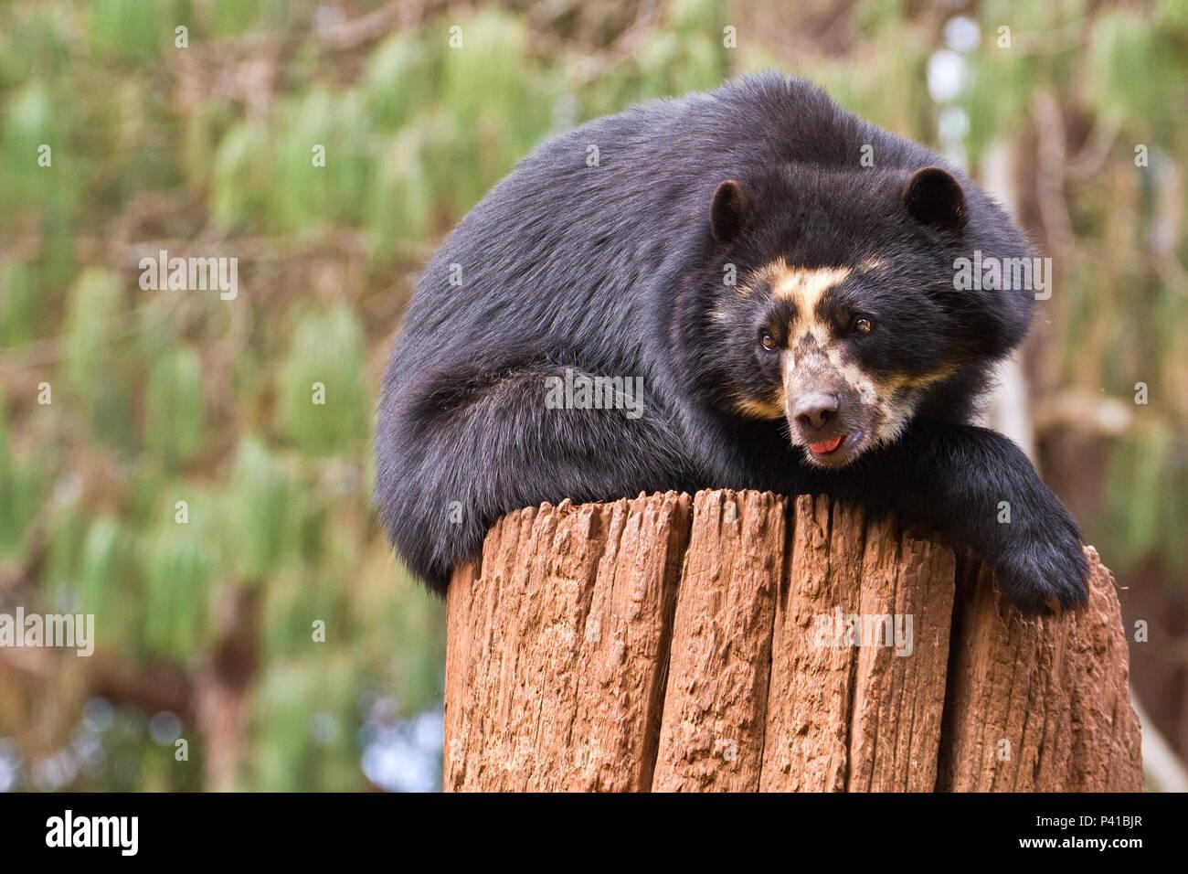 Urso-de-óculos; Tremarctos ornatus; animal; Fauna; Natureza; Zoológico de São Carlos; Estado de São Paulo; Brasil; São carlos; Interior do Estado de São Paulo Stock Photo