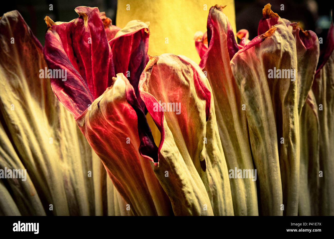 A close-up detail of the outer petals of the rare Corpse flower in bloom, famous as it rarely blooms and for it's smelly rotting flesh odor, also know - Stock Image