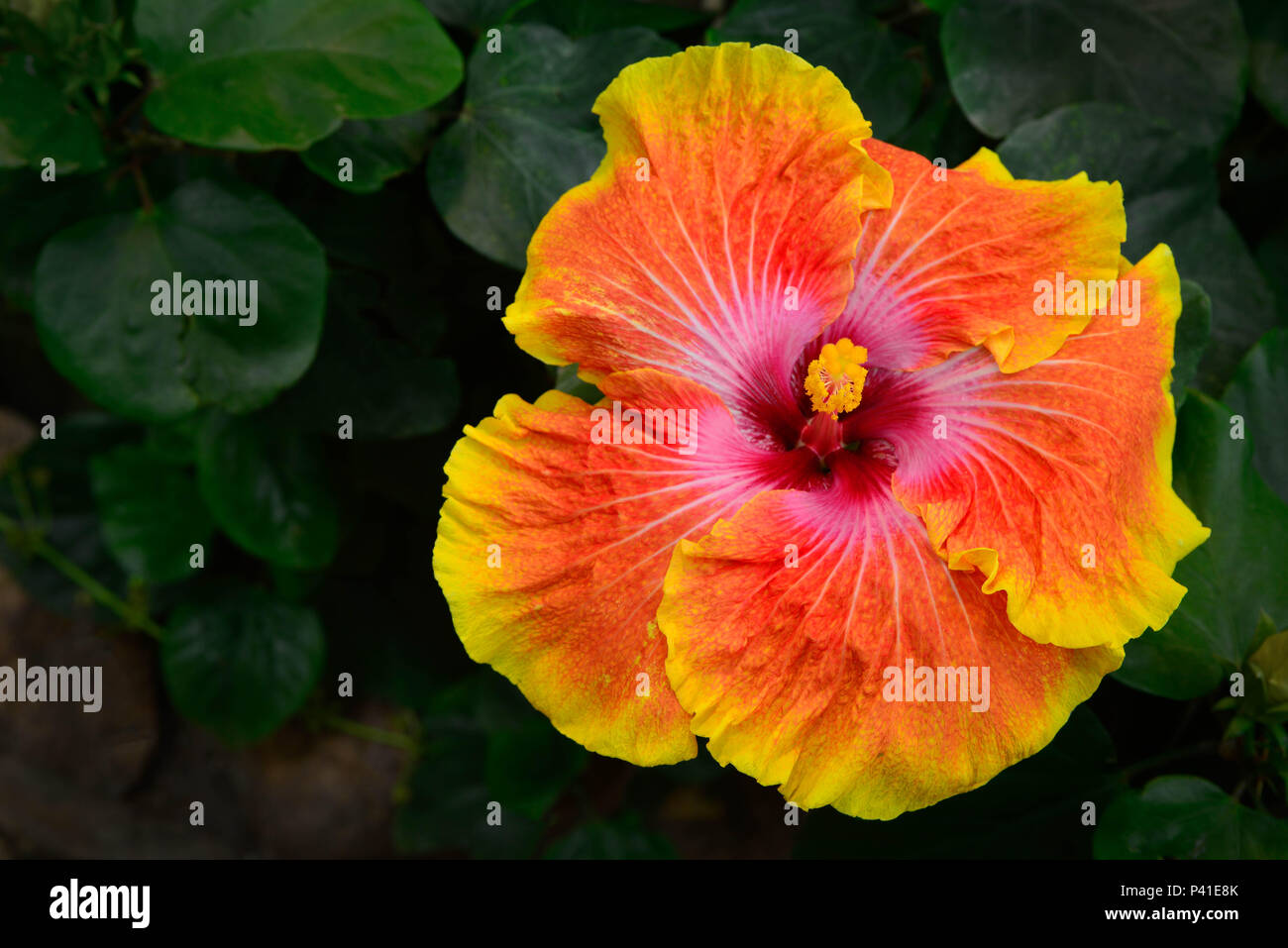 An Off Centereed Big And Vibrant Yellow And Orange Hibiscus Flower