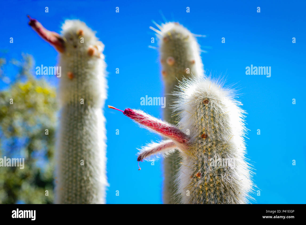 A Trio Of Old Man Cacti With Blooming Red Flowers Projecting Outward