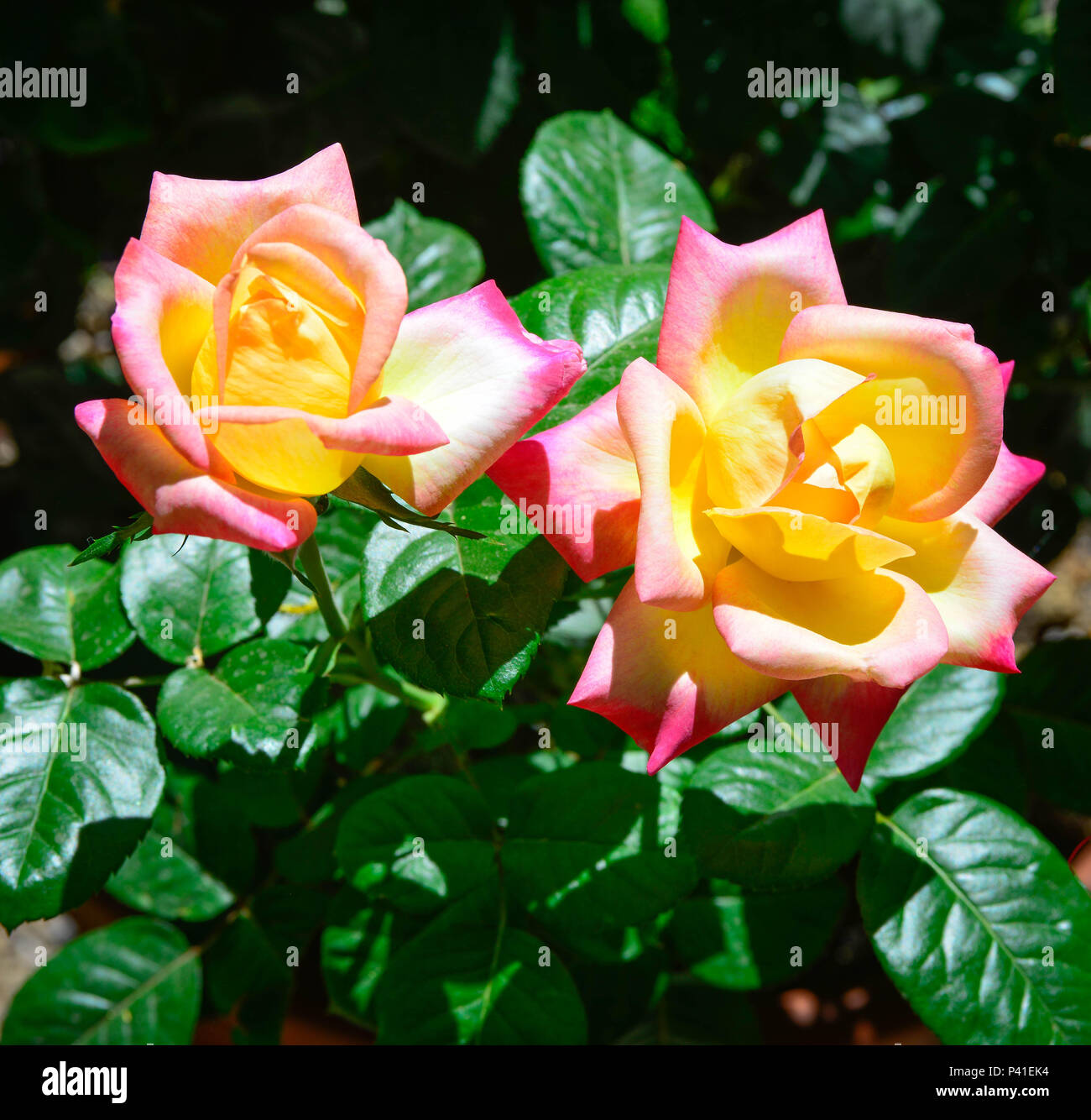 Several golden yellow with ruby blushed tip roses, known as 'Dream Come True' Grandiflora roses blooming in Spring garden - Stock Image