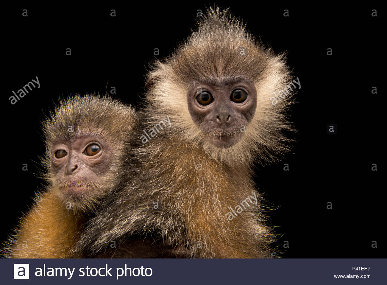 Two Indochinese silver langurs, Trachypithecus germaini, at the Angkor Centre for Conservation of Biodiversity. - Stock Image