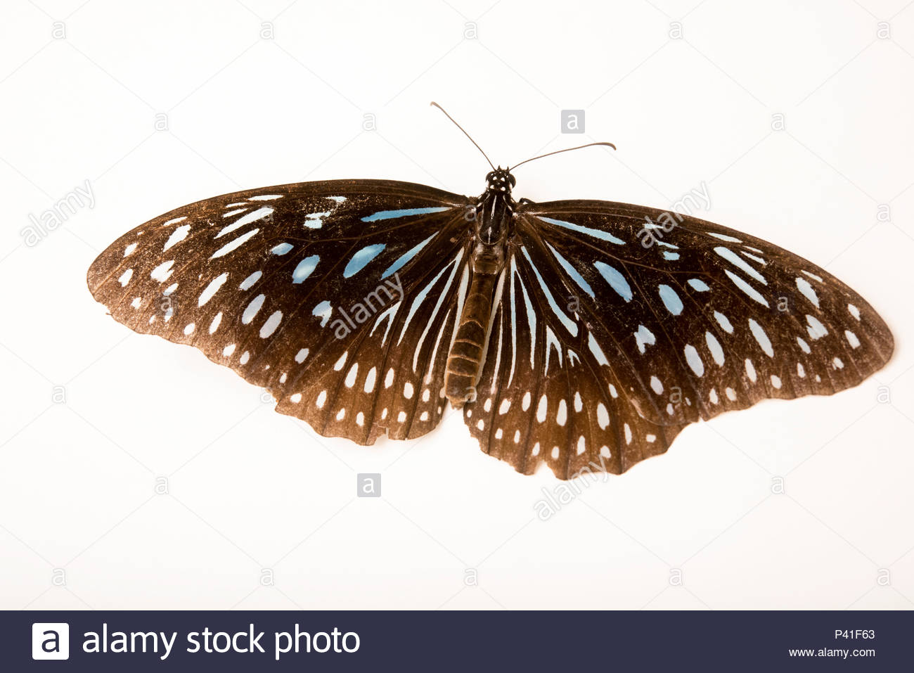 A blue glassy tiger butterfly, Ideopsis vulgaris contigua, at Angkor Centre for Conservation of Biodiversity. - Stock Image