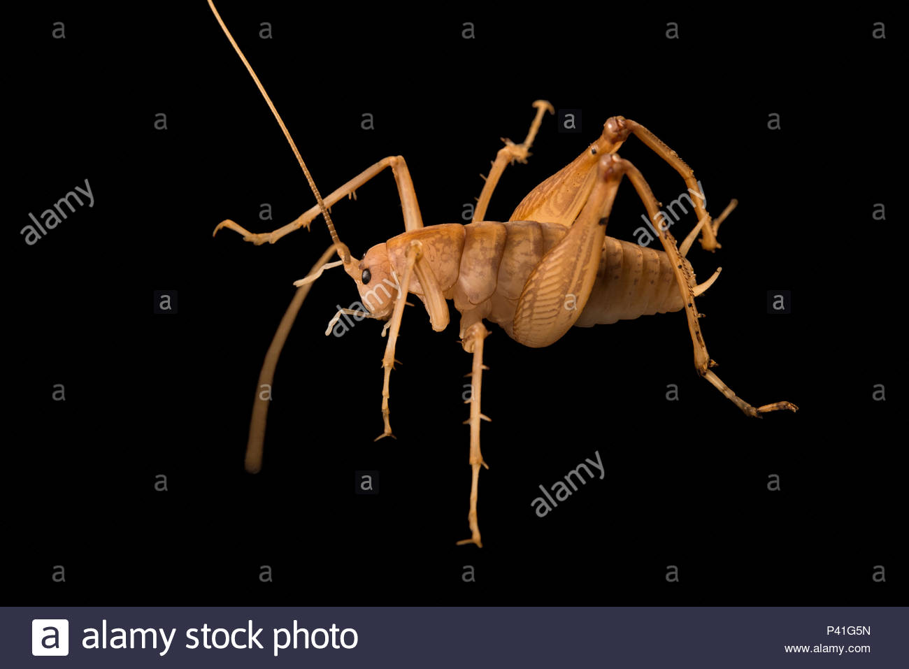 Camel cricket at the Urban Entomology Lab at the University of Florida in Gainesville. - Stock Image