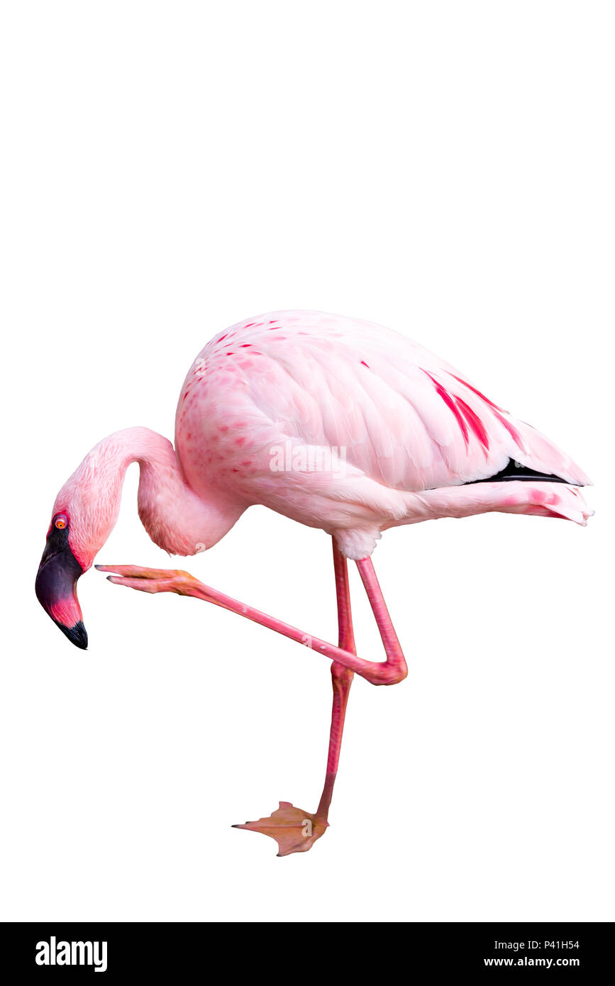 Greater Flamingo isolated on white background, seen in Namibia, Africa - Stock Image