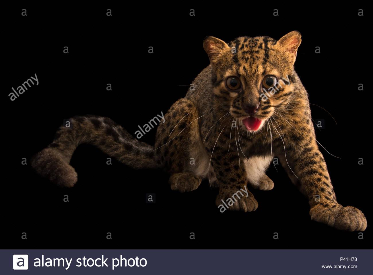 A portrait of a marbled cat, Pardofelis marmorata. - Stock Image