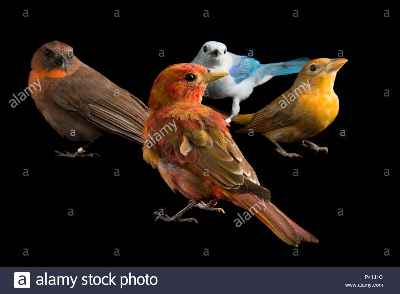 Red throated ant tanager, Habia fuscicauda, hepatic tanager, Piranga flava, blue-grey tanager, Thraupis episcopus, at the National Aviary of Colombia. - Stock Image