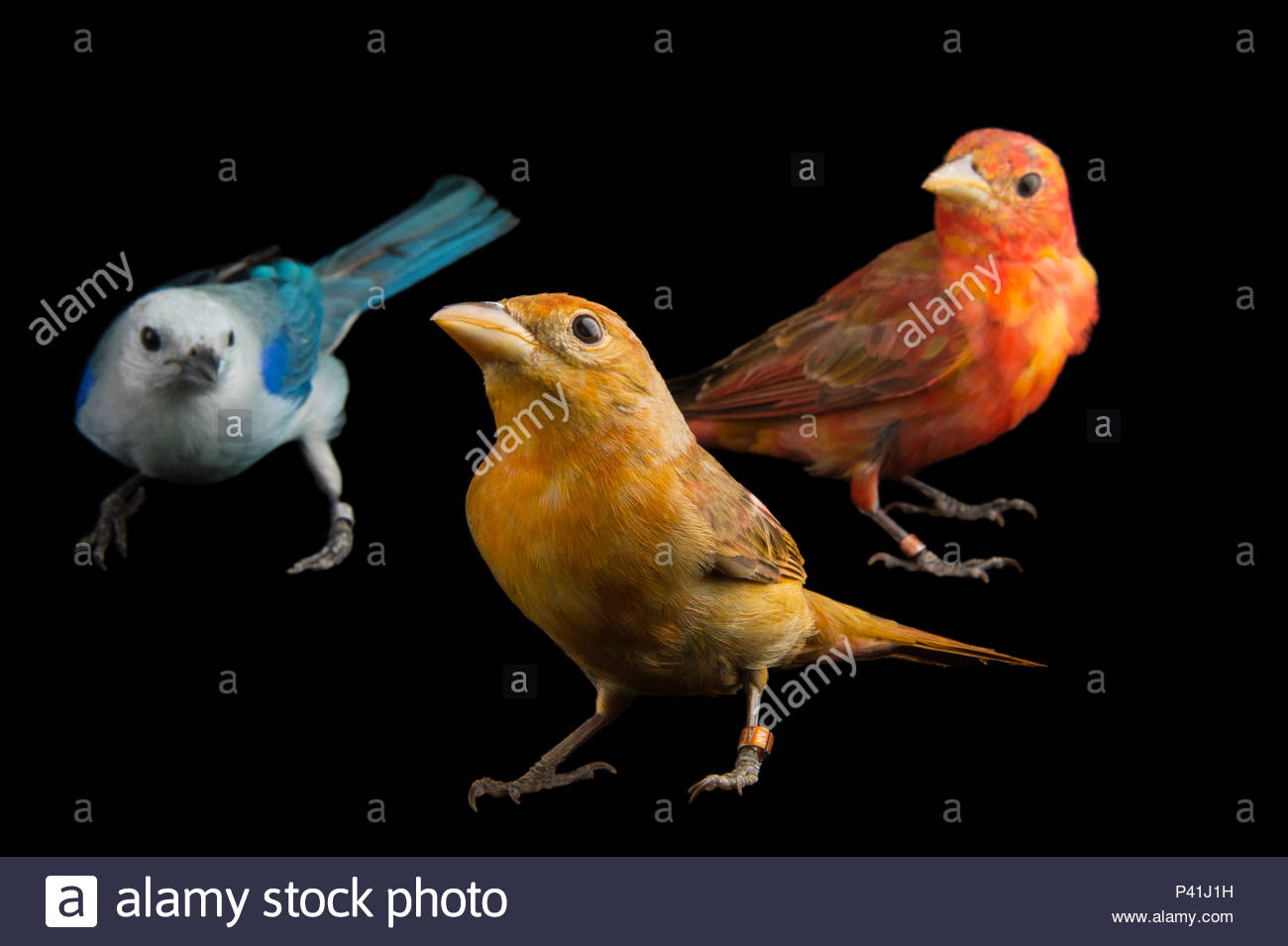 Hepatic tanager, Piranga flava, blue-grey tanager, Thraupis episcopus, at the National Aviary of Colombia. - Stock Image