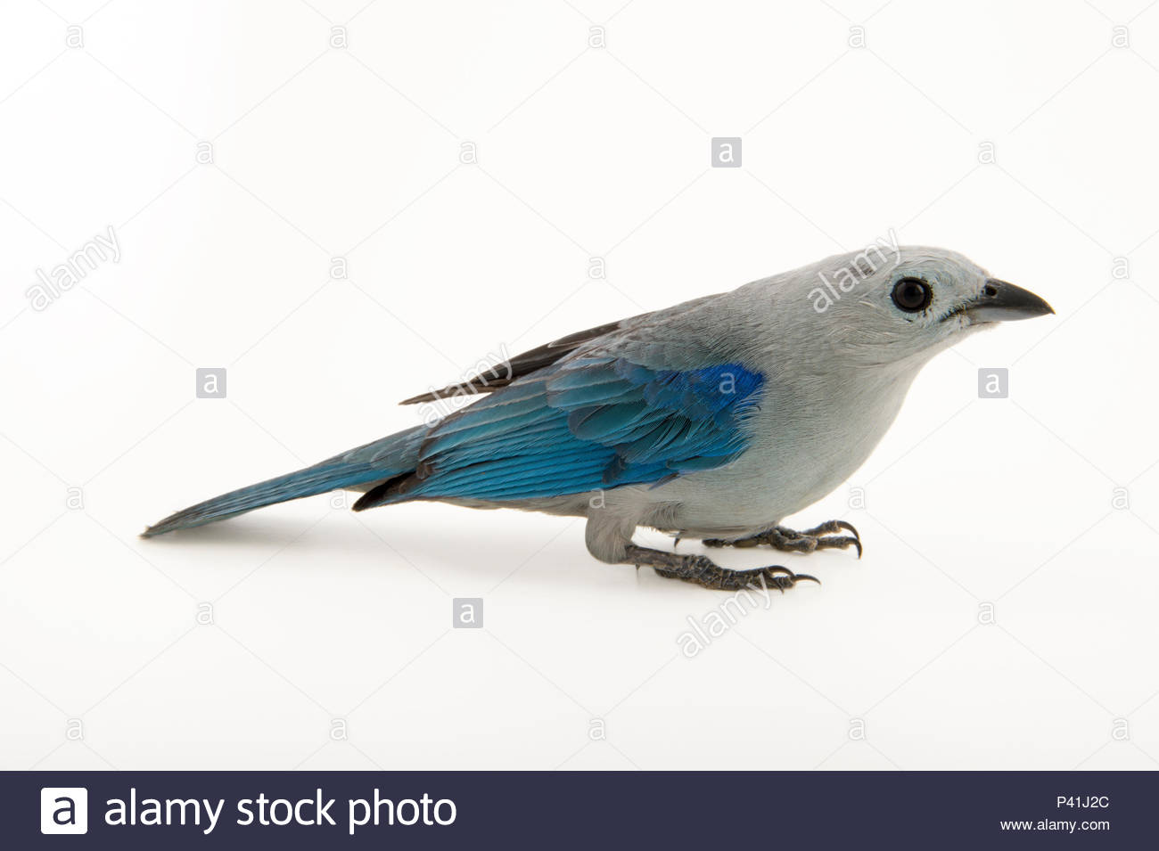 Blue-grey tanager, Thraupis episcopus, at the National Aviary of Colombia. - Stock Image