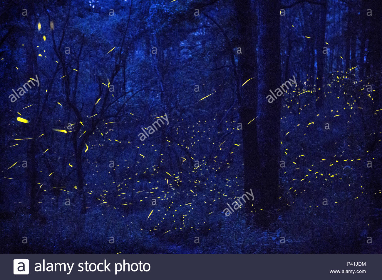 Fireflies in flight in the forest at Santa Clara Sanctuary. - Stock Image