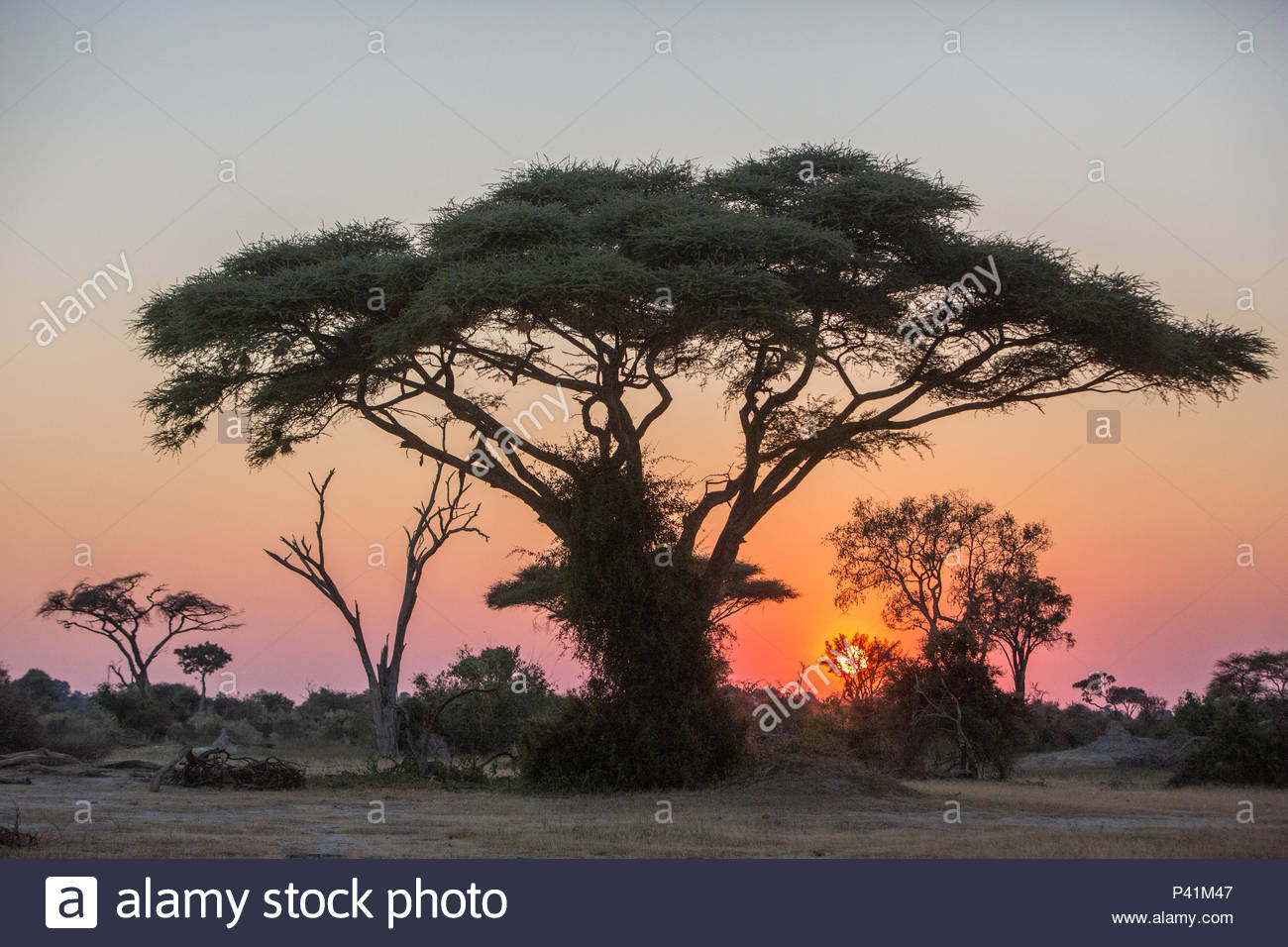 A tree canopy at sunrise on Chief's Island in the Moremi Game Reserve. - Stock Image