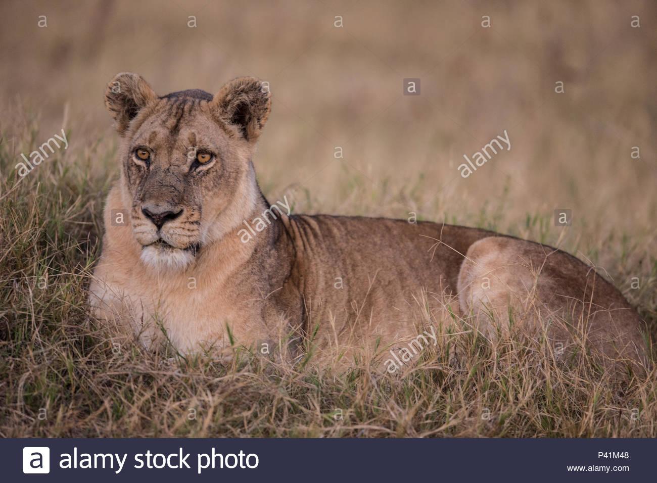 A female lion on Chief's Island in Botswana's Okavango Delta. - Stock Image