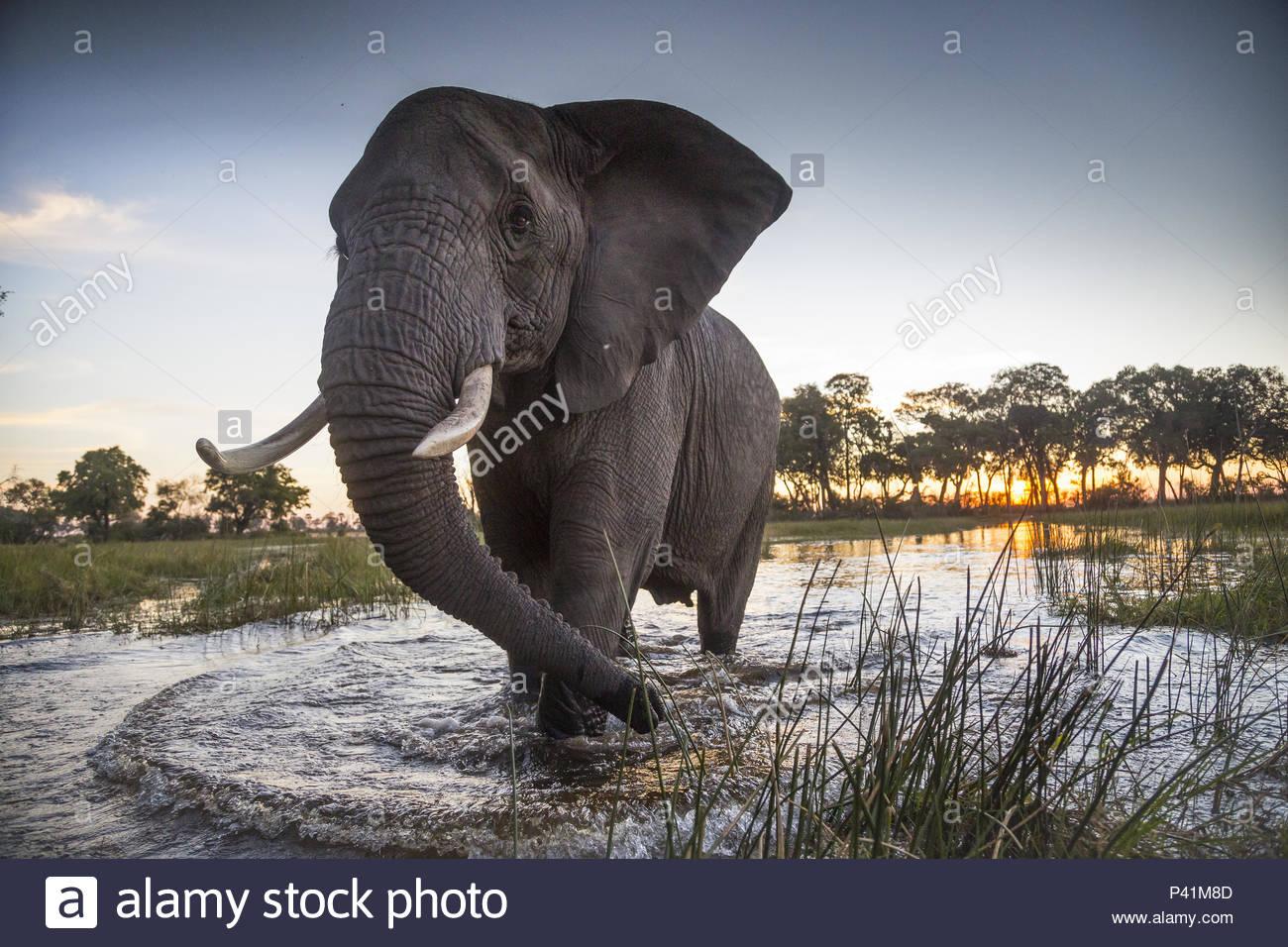 An African elephant in the Okavango Delta. - Stock Image