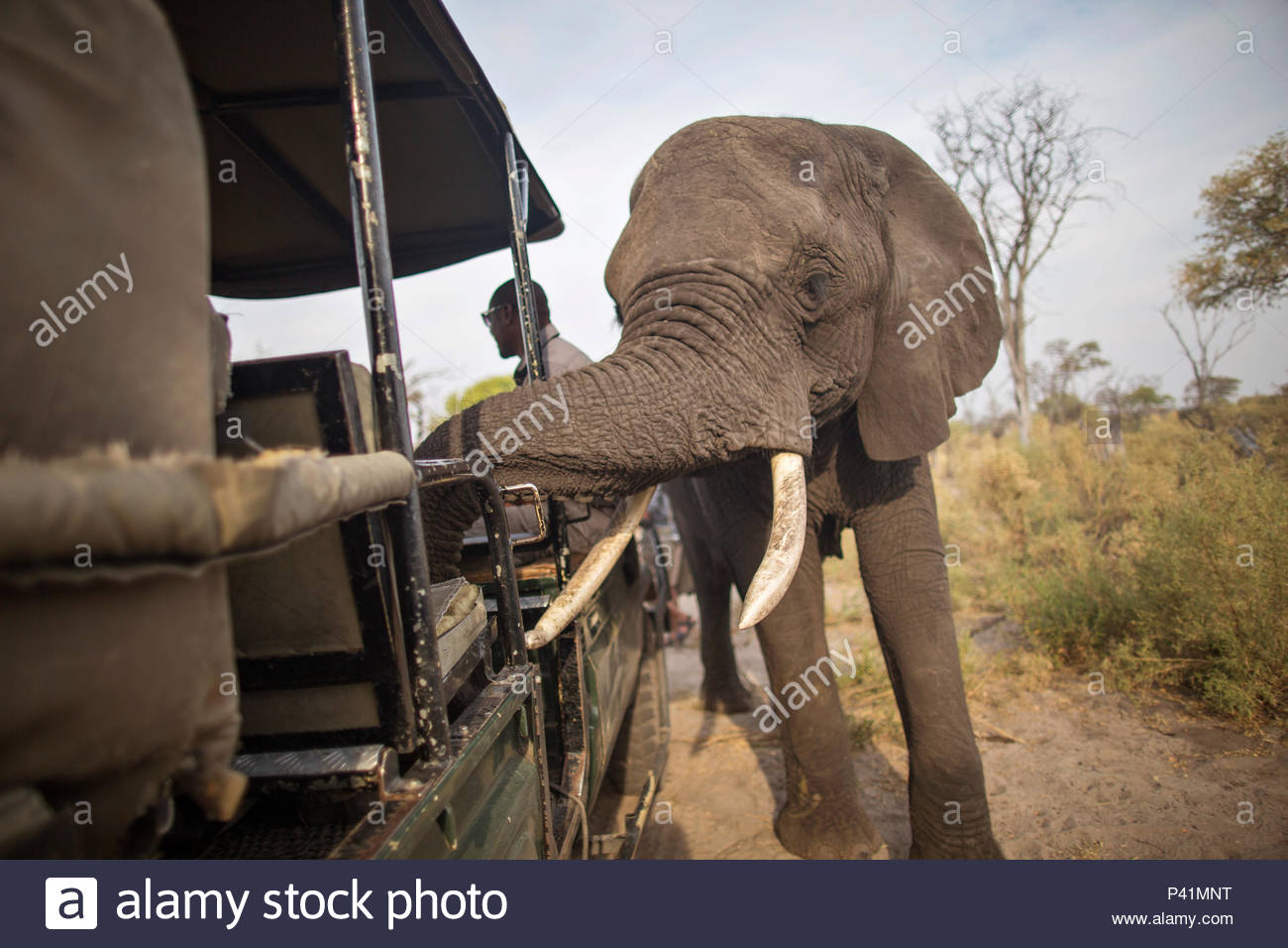 An African elephant investigates an expedition vehicle in the Okavango Delta. - Stock Image