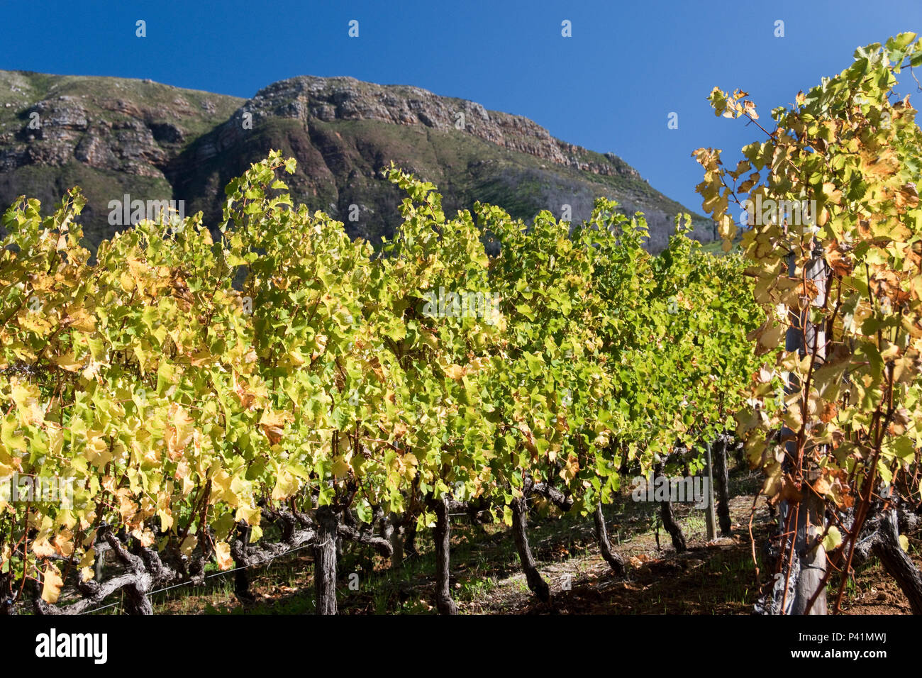 Vines grow on wine estates below Table Mountain, in the suburb of Constantia, Cape Town, South Africa. - Stock Image