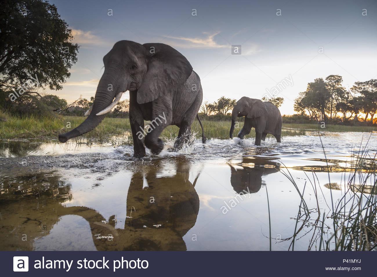 African elephants in the Okavango Delta. - Stock Image