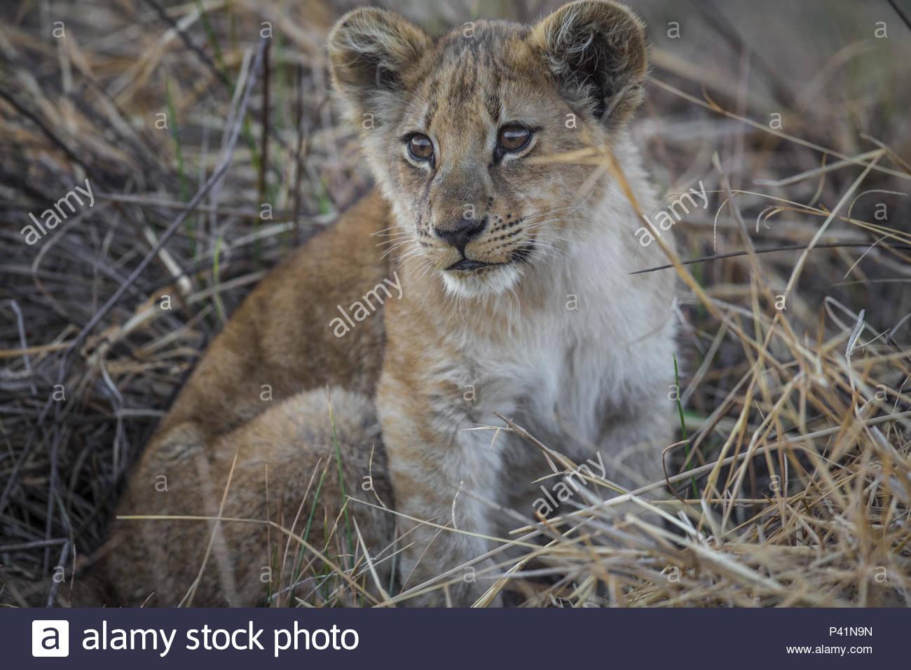 A lion cub on Chief's Island in Botswana's Okavango Delta. - Stock Image