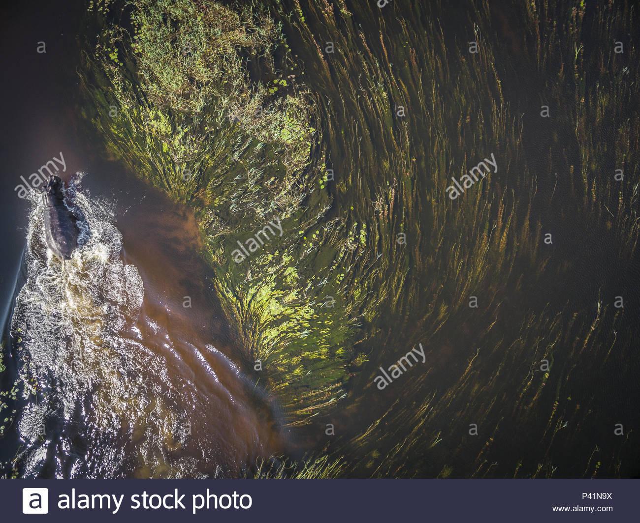 A hippopotamus in waters of the Okavango Delta. - Stock Image
