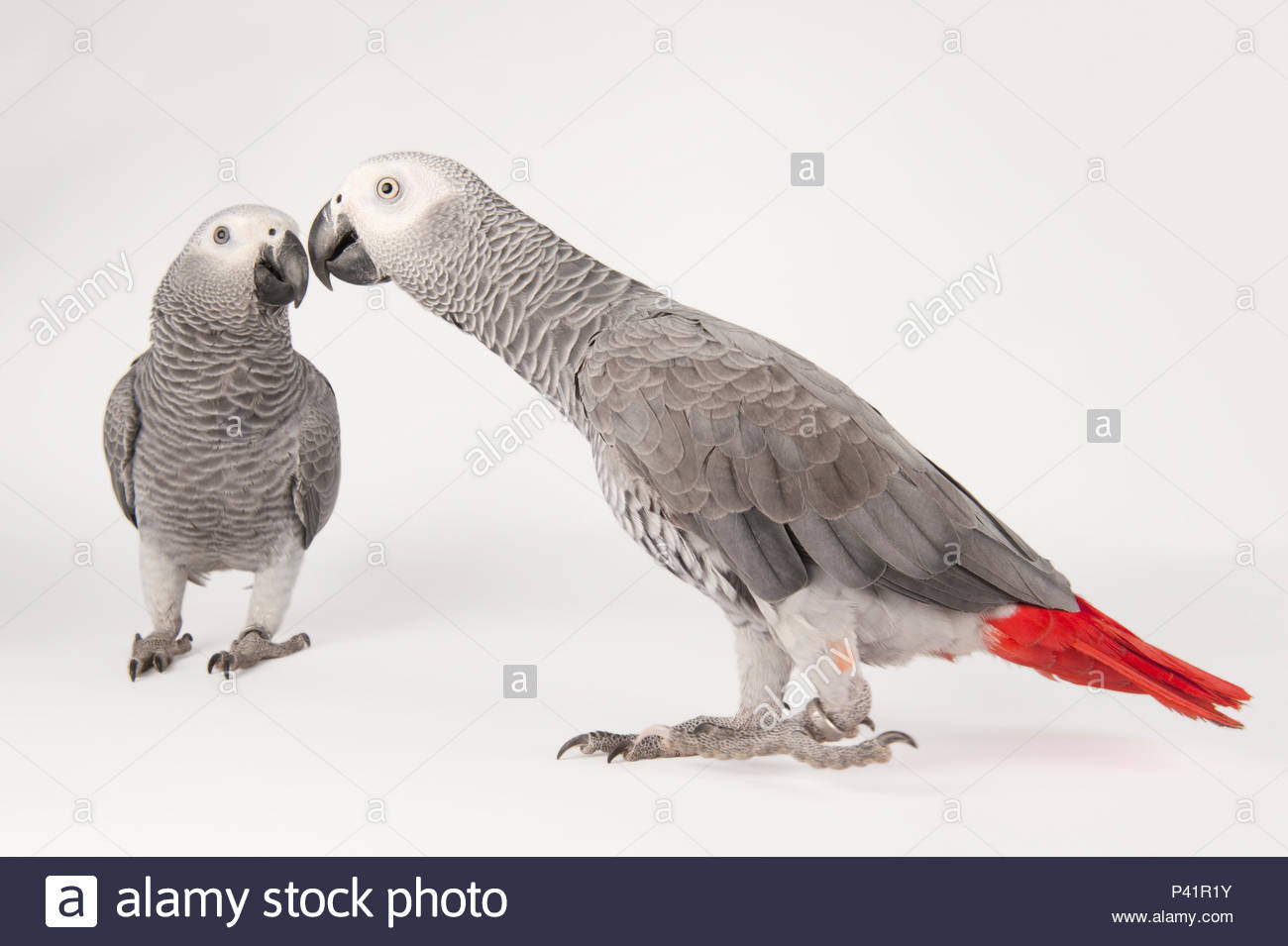 Endangered African grey parrots, Psittacus erithacus erithacus, at Parrots in Paradise. - Stock Image