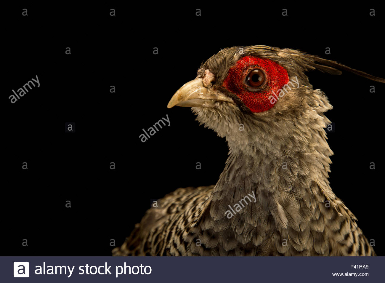 A male cheer pheasant, Catreus wallichii, at Padmaja Naidu Himalayan Zoological Park. - Stock Image