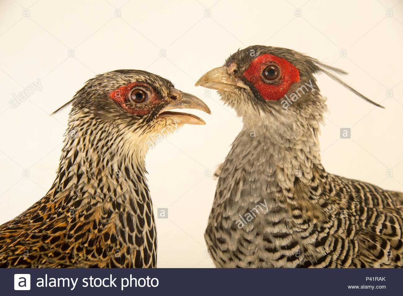 A male and female cheer pheasant, Catreus wallichii, at Padmaja Naidu Himalayan Zoological Park. - Stock Image