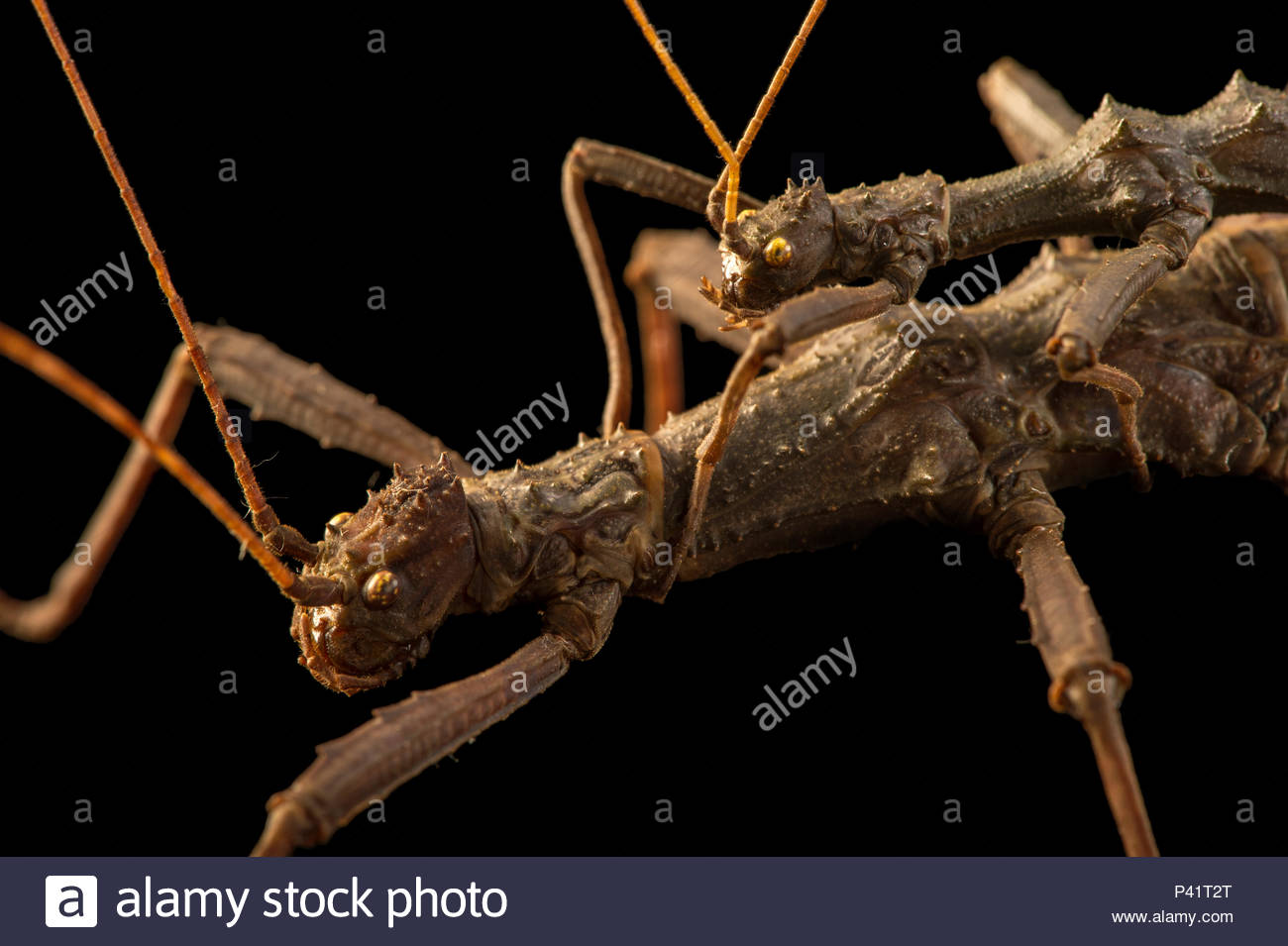 Giant thorn cricket, Trachyaretaon carmelae, at the Budapest Zoo. - Stock Image