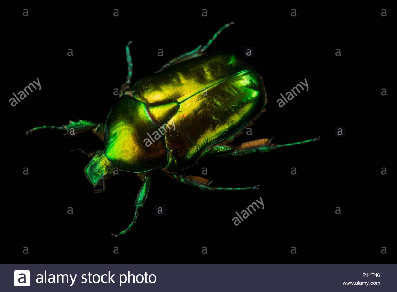 Large rose beetle, Potosia aeruginosa, at the Budapest Zoo. - Stock Image