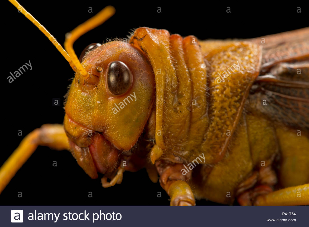 South American giant grasshopper, Tropidacris collaris, at the Budapest Zoo. - Stock Image