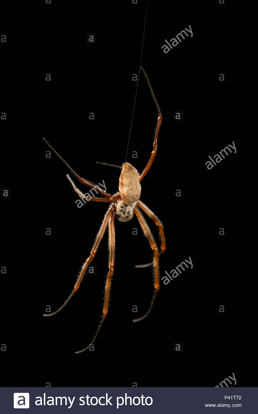 Golden silk orb weaver spider, Nephila edulis, at the Budapest Zoo. - Stock Image