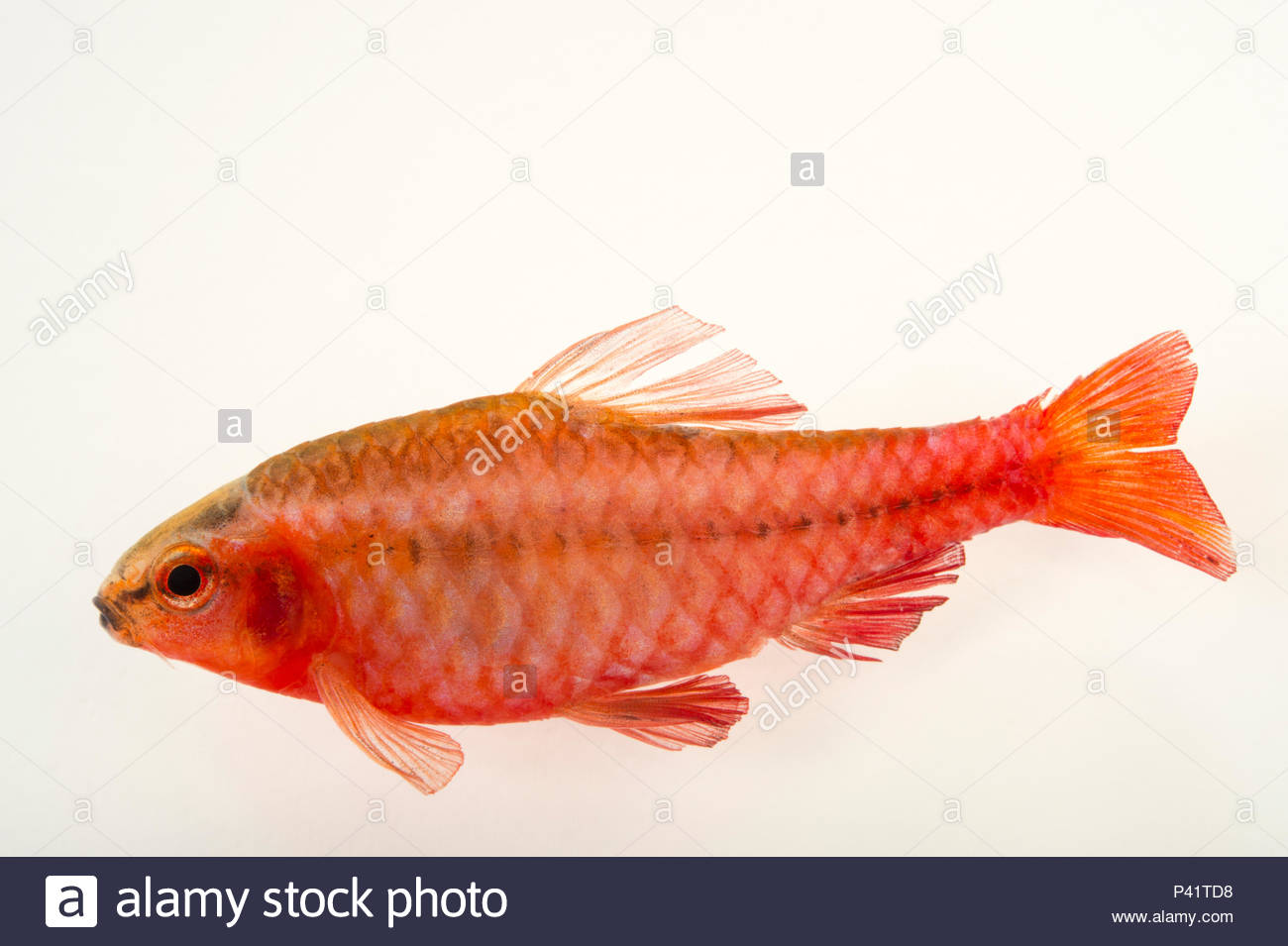 Cherry barb, Puntius titteya, at L'aquarium tropical du palais de la Porte Doree. - Stock Image