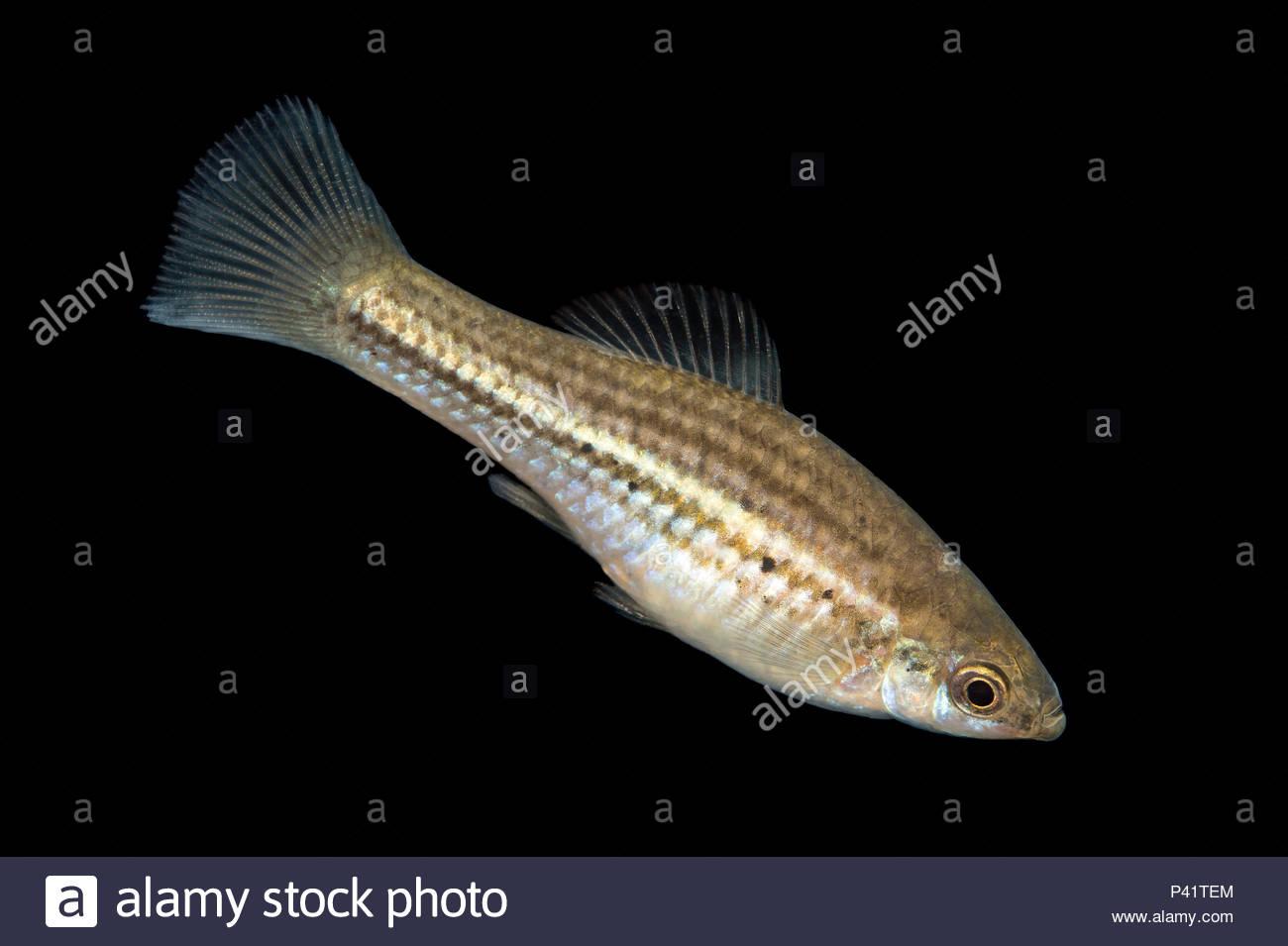 Orange female swordtail | Aquarium fish, Fish, Home aquarium fish | 955x1300