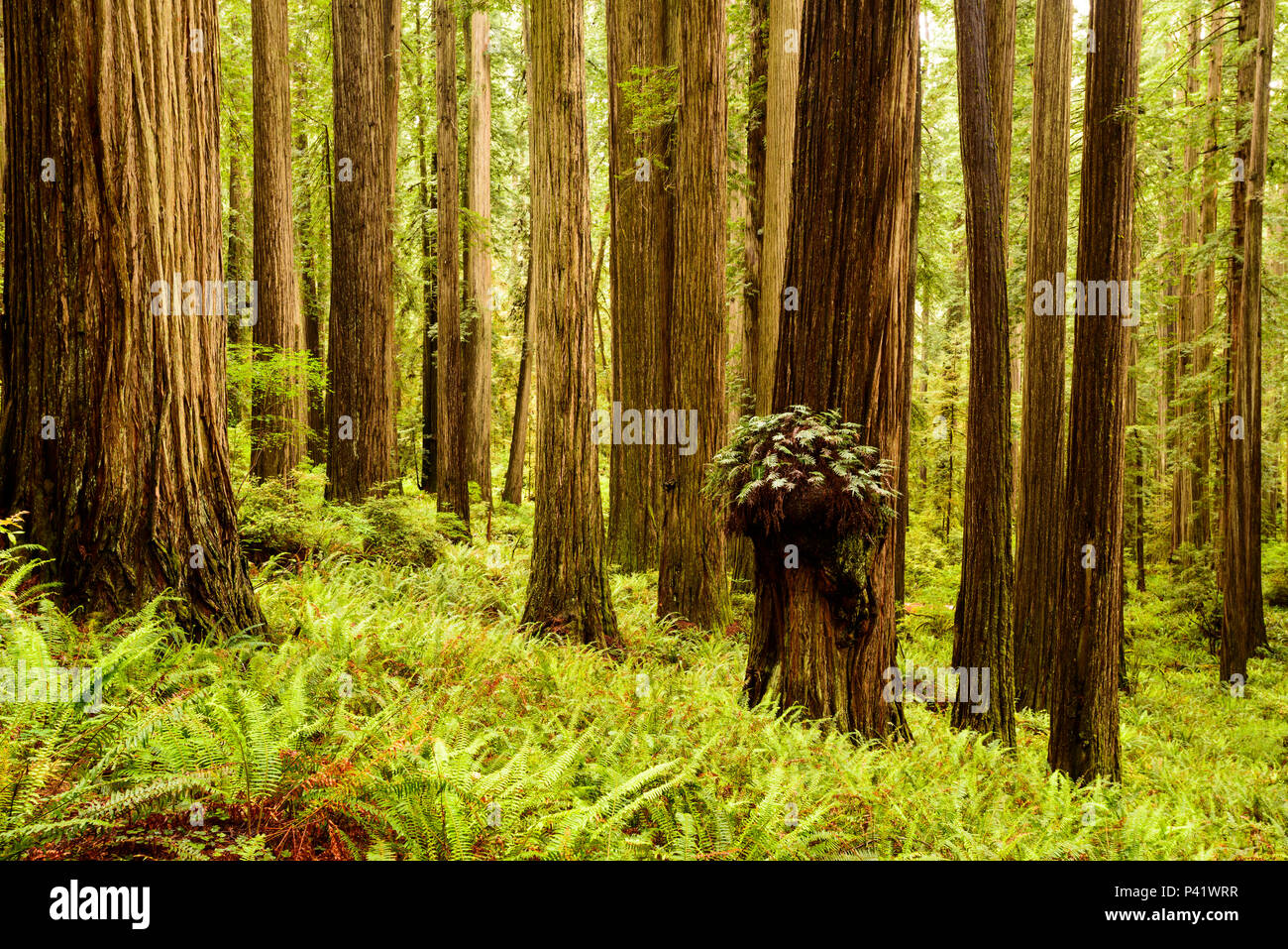 Hiking in the Redwoods in Boy Scout tree trail at Jedediah Smith Redwoods state park in northern California - Stock Image