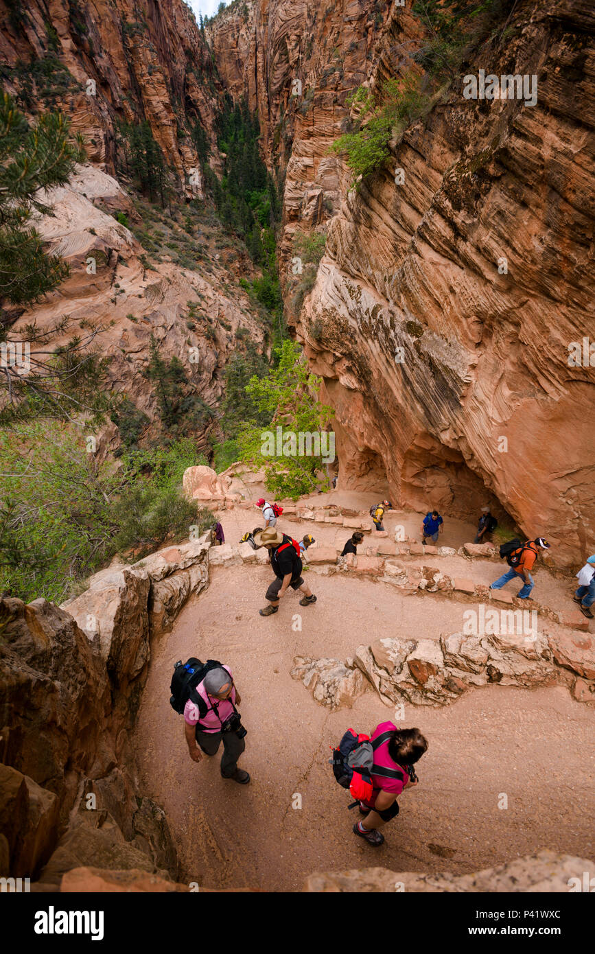 Hikers on Walter's Wiggles, an ingenious set of steep switchbacks on the dangerous Angles Landing trail in Zion national park in Utah, North America. Stock Photo