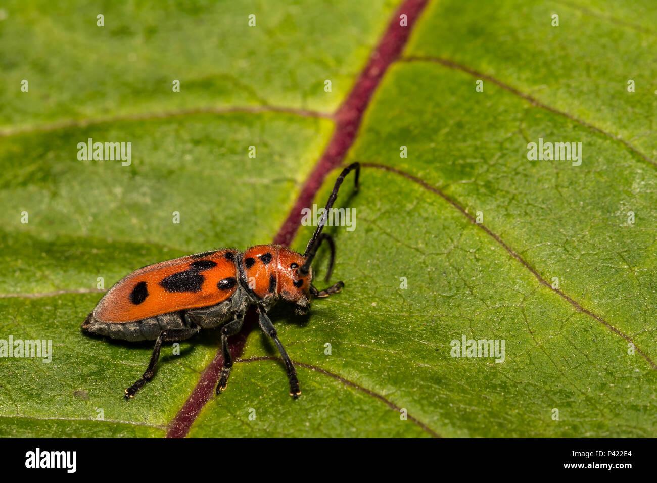 Red Milkweed Beetle (Tetraopes tetrophthalmus) - Stock Image