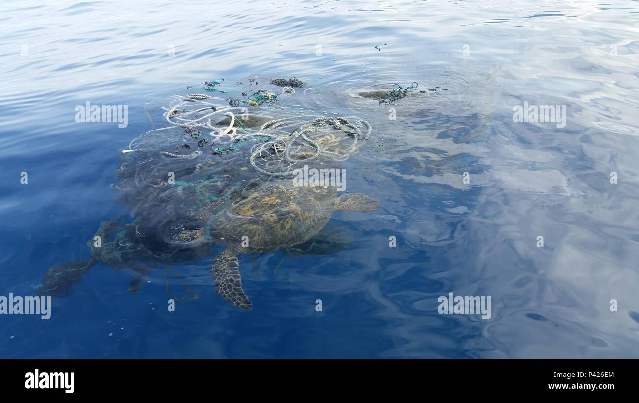 A sea turtle floats trapped in a derelict fishing net off the west side of Oahu, Hawaii, June, 4, 2016. Petty Officer 1st Class Matthew Young and Seaman Cameron Ables, members of Coast Guard Air Station Barbers Point, rescued three sea turtles trapped in the derelict fishing net and brought the net to shore for disposal. U.S. Coast Guard photo by Petty Officer 1st Class Matthew Young/Released) - Stock Image
