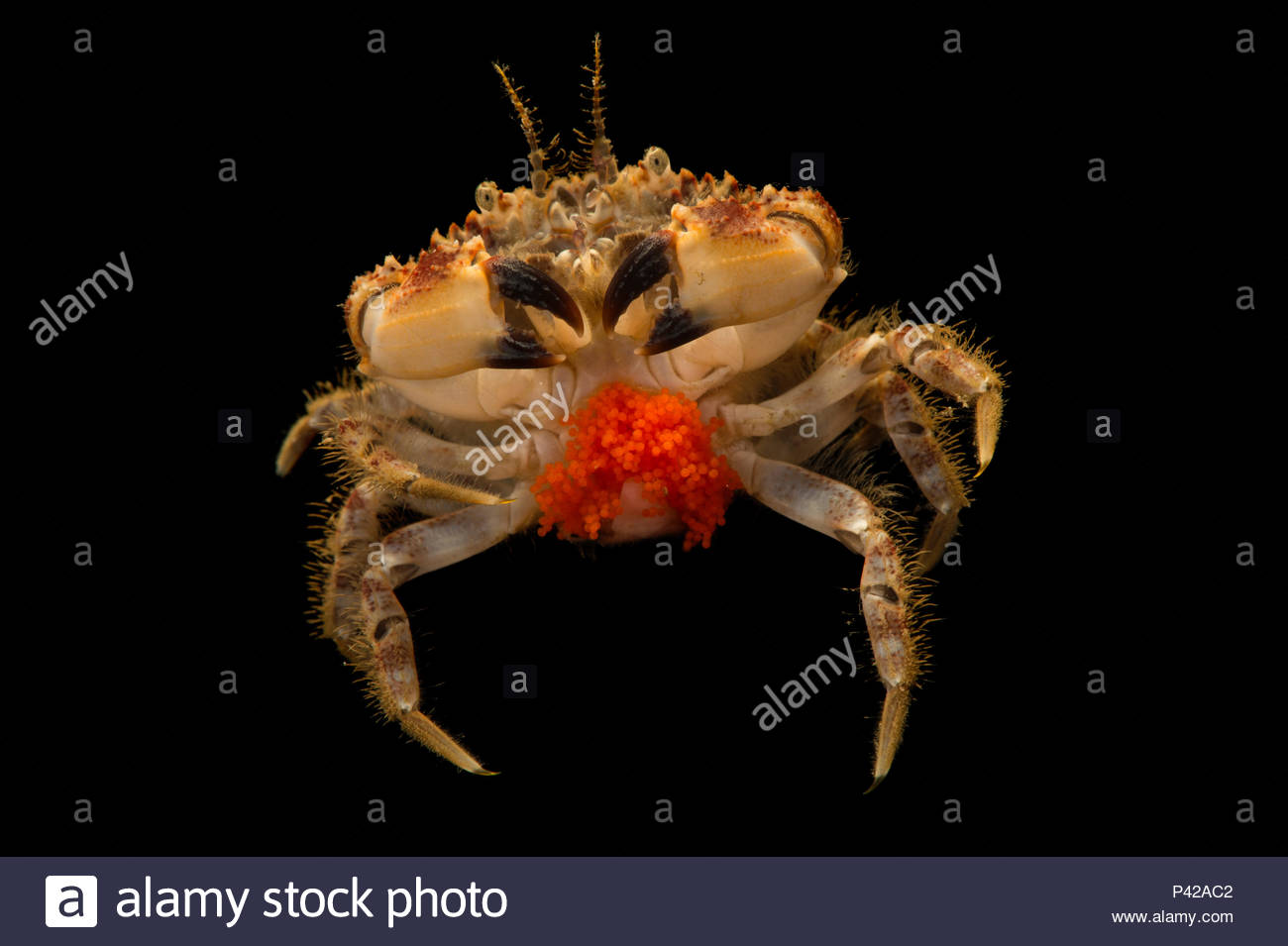 Pygmy rock crab, Glebocarcinus oregonensis, at the Alaska SeaLife Center. - Stock Image