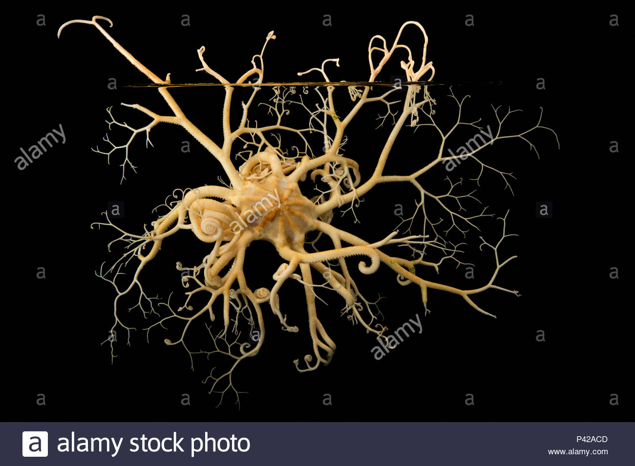 Basket star, Gorgonocephalus eucnemis, at the Alaska SeaLife Center. - Stock Image