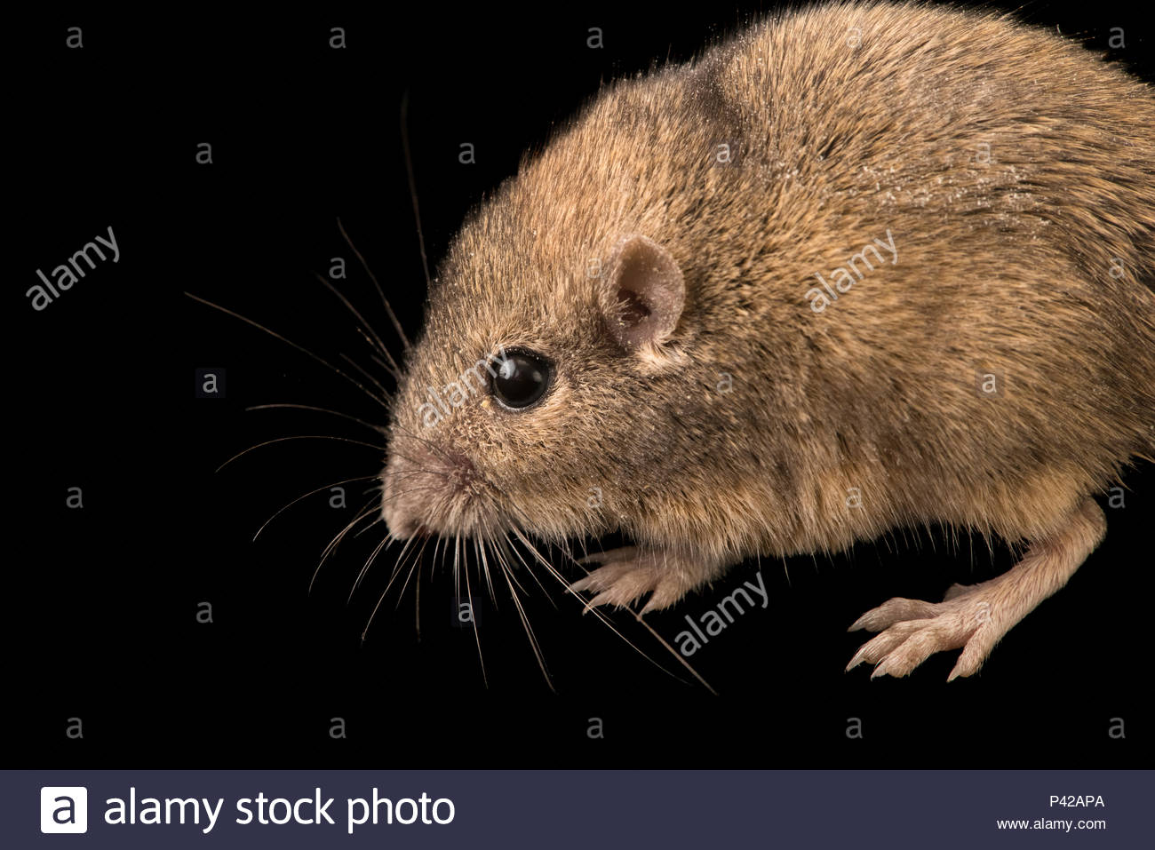 Silky pocket mouse, Perognathus flavus, at Cedar Point Biological Station. - Stock Image