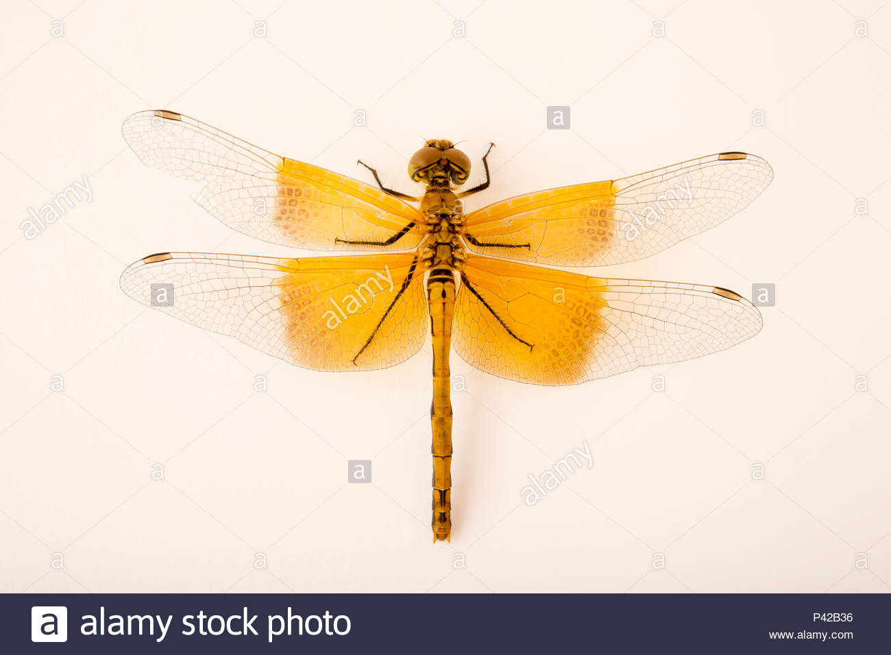 Skimmer dragonfly, Sympetrum occidentale, at Cedar Point Biological Station. Stock Photo