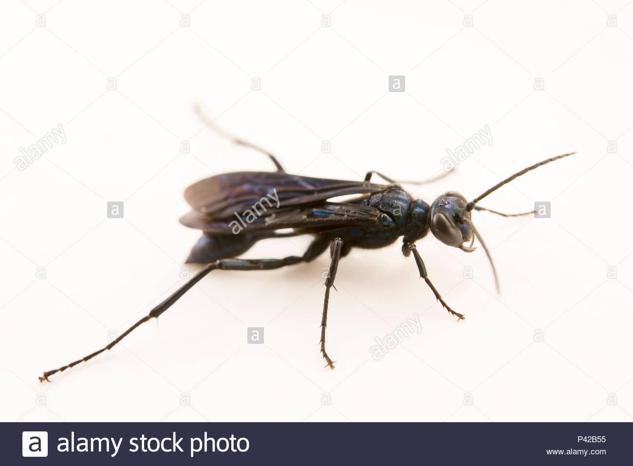 Blue mud dauber wasp, Chalybion californicum, at Cedar Point Biological Station. - Stock Image