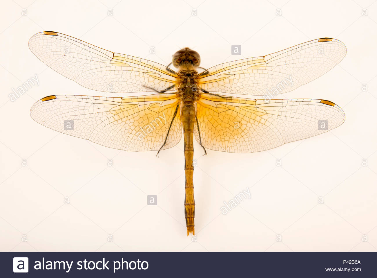 Skimmer dragonfly, Sympetrum occidentale, at Cedar Point Biological Station. Stock Photo