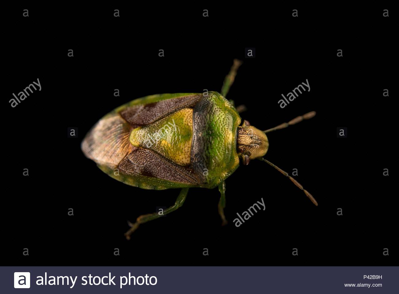 Green and red stink bug, Banasa dimidiata, at Cedar Point Biological Station. - Stock Image