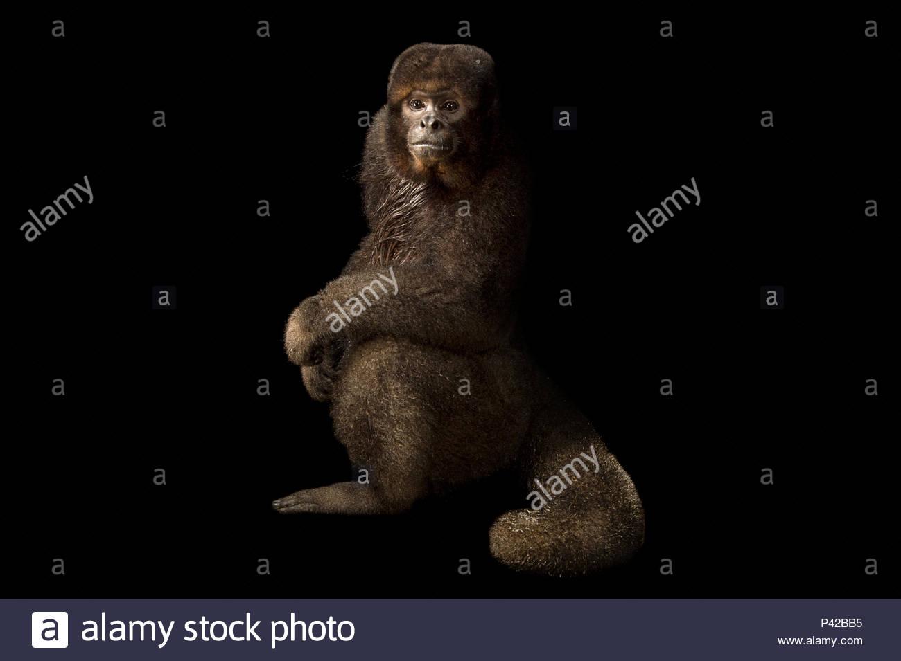 A brown woolly monkey, Lagothrix lagothrica lagothrica, at Piscilago Zoo. Stock Photo