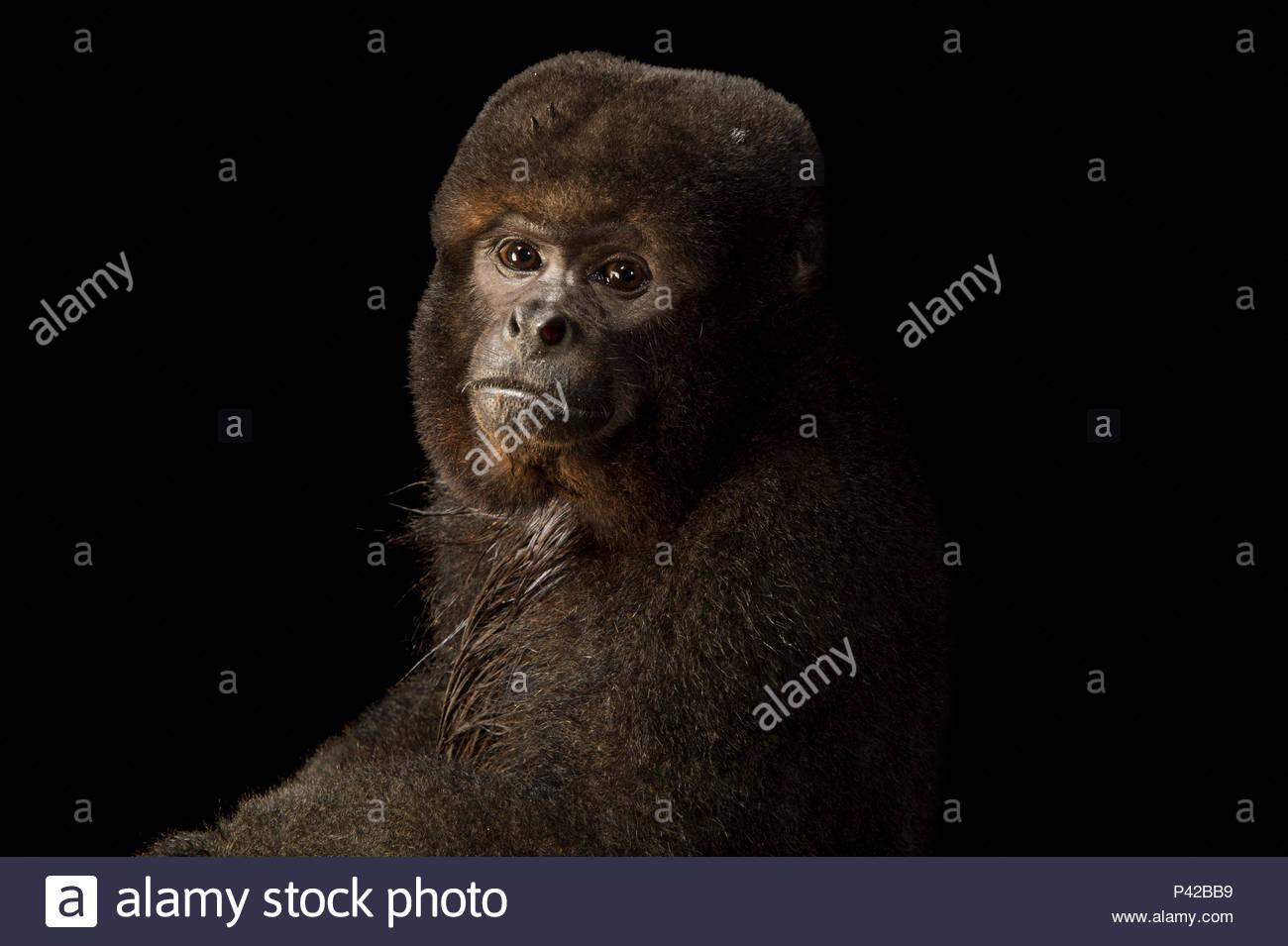 A brown woolly monkey, Lagothrix lagothrica lagothrica, at Piscilago Zoo. - Stock Image