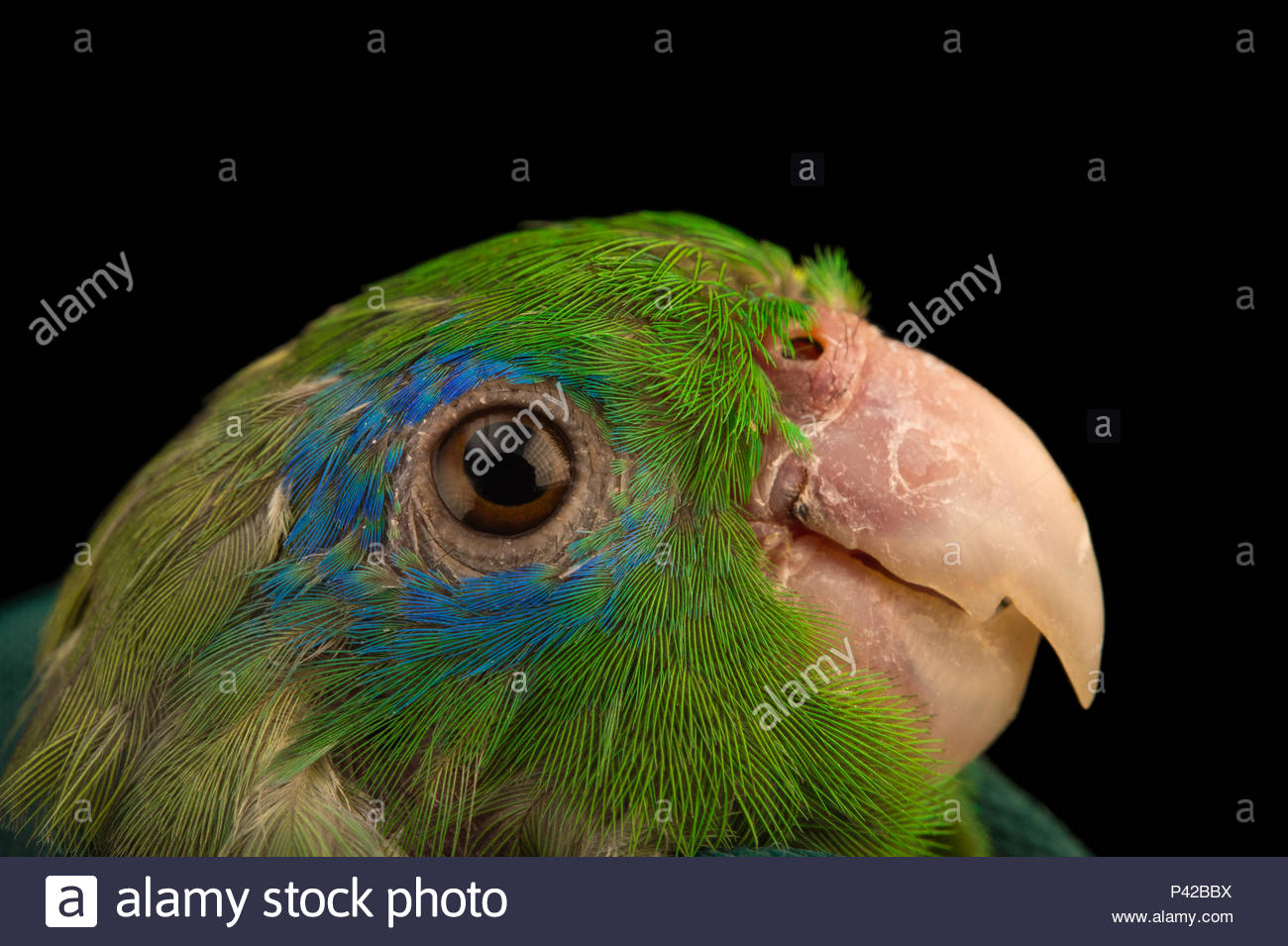 A male spectacled parrotlet, Forpus conspicillatus, at Piscilago Zoo. - Stock Image