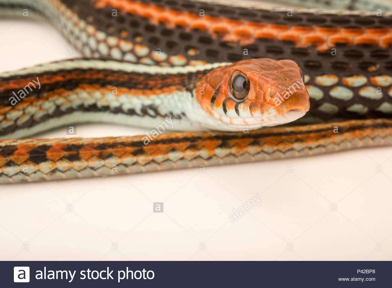San Francisco garter snake, Thamnophis sirtalis tetrataenia, at the Exmoor Zoo. - Stock Image