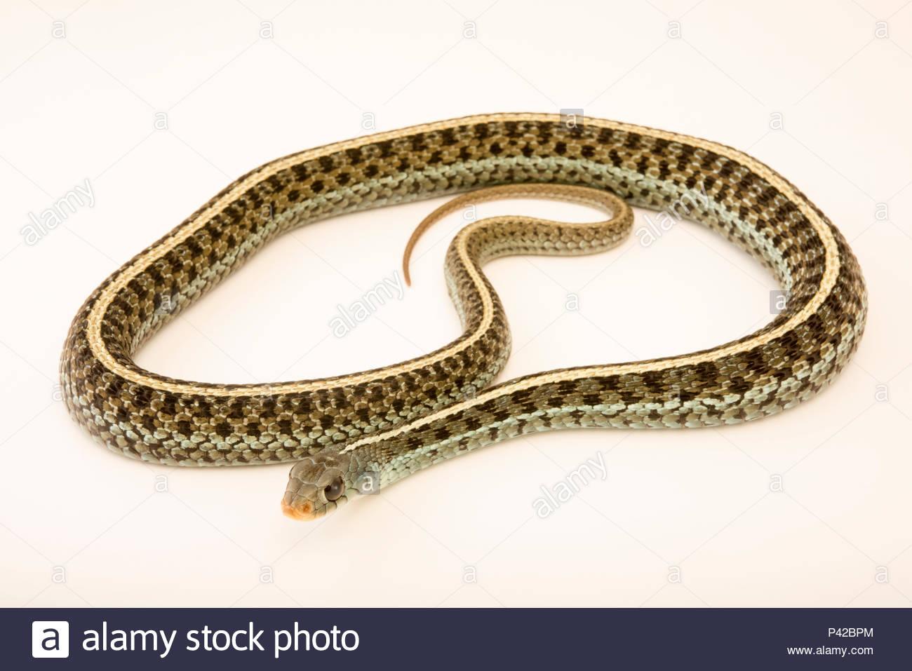 White Snake Stock Photos & White Snake Stock Images - Alamy