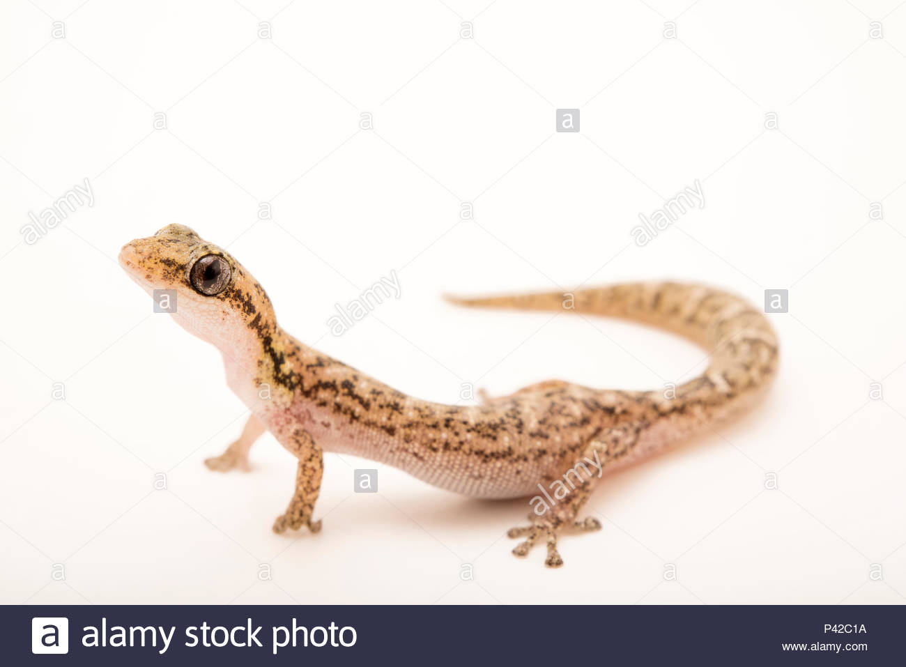 Malagasy salamander gecko, Matoatoa brevipes, from a private collection. - Stock Image