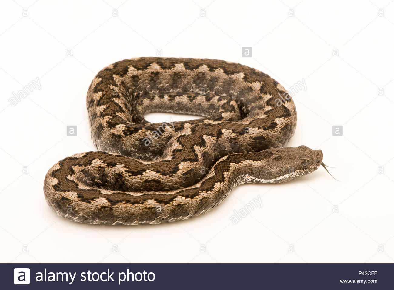 Iberian or Lataste's viper, Vipera latastei latastei, at University of Porto Center for Biodiversity and Genetic Resources. - Stock Image