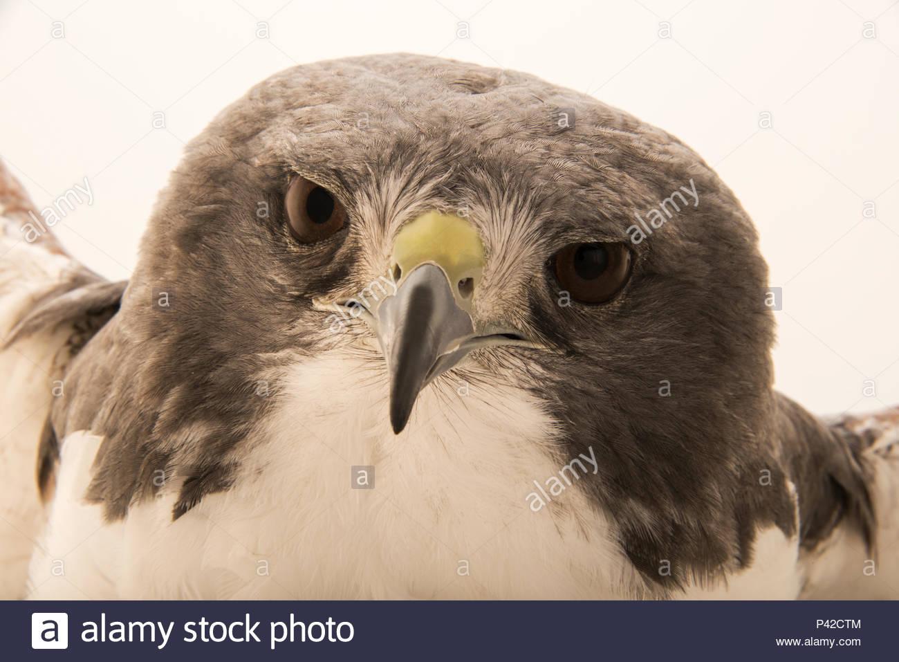 A white tailed hawk, Geranoaetus albicaudatus hypospodius, at SIA, the Comanche Nation Ethno-Ornithological Initiative. - Stock Image